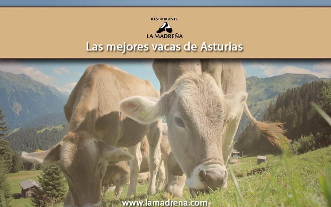 Las mejores vacas de Asturias